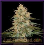 DNA Genetics Chocolope Kush female medicinal cannabis seeds
